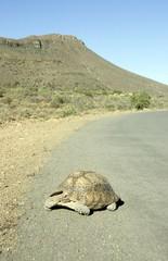 Leopard tortoise(Geochelone pardalis) crossing street