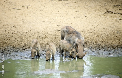 Warthog (Phacochoerus africanus), mother with three young