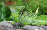 An Emerald Basilisk in Costa Rica poster