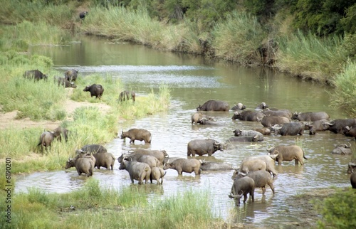 herd of african buffalo (Syncerus caffer) crossing river