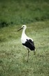 white stork, juvenile with black bill (turn red when old)