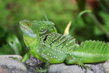 Emerald Double-crested Basilisk in Costa Rica poster