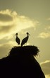 white storks on nest on rock at sunset