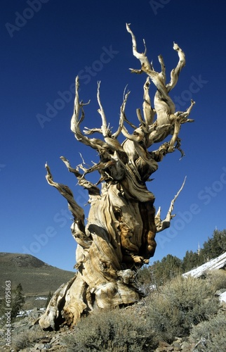 Bristlecone Pine (Pinus longaeva), oldest tree in the world