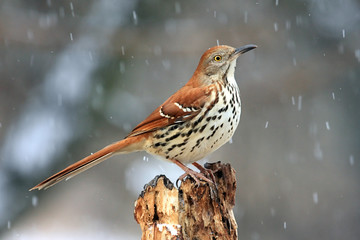 Brown Thrasher (Toxostoma rufum) in a Snow Storm
