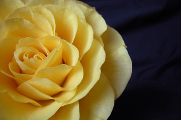 Yellow Rose on Black