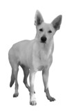 White Shepherd with huge ears poster