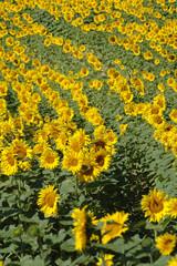 au milieu d'un champs de soleil