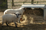 sheep feeding from a farmyard trough