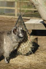 sheep feeding from hanging hay basket