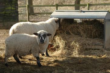 sheep feeding from a farmyard trough
