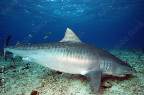 In de dag Tijger Tiger Shark on a Wreck in the Bahamas