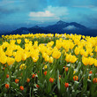 canvas print picture    tulips in a field with mountains in the background