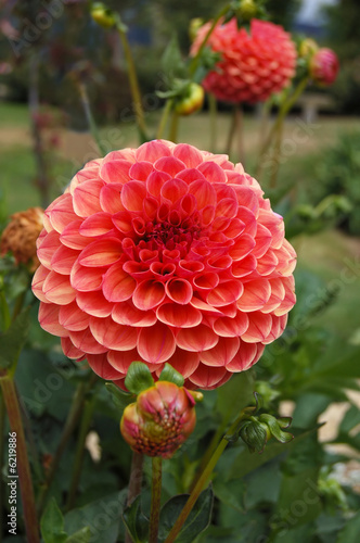 canvas print picture bright dahlias in a garden at springtime