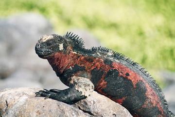 iguana de galapagos