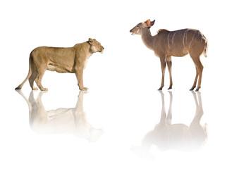 lionne vs antilope