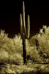 Moonlight Saguaro