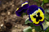 Iona Pansy - with butterfly pattern to attract pollenation poster