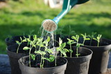 Fototapety Watering Sweatpea Seedlings