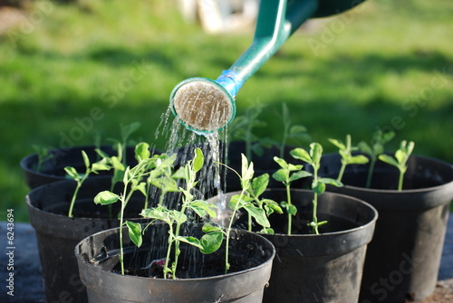 Watering Sweatpea Seedlings