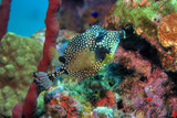Smooth trunkfish  poster
