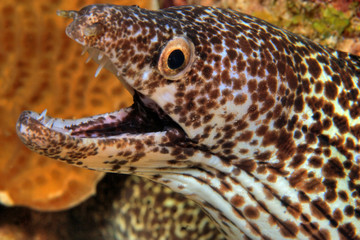 Spotted moray ell