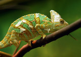 Small green reptile named Chameleon. poster