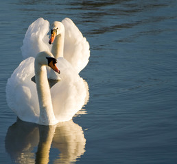 River Witham swans