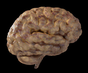 Illustration of a fresh moist brain.