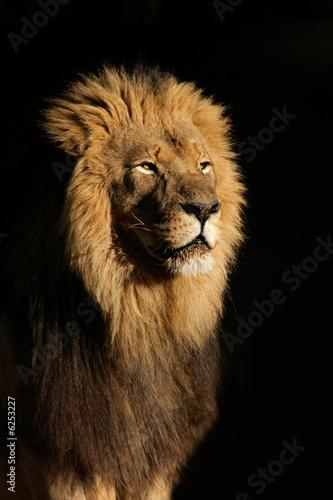 wielki-meski-lew-afrykanski-panthera-leo
