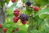 ripe and  unripe  blackberries bunch on a farm, close-up poster