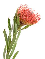 protea, isolated