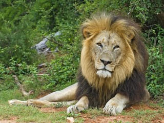 The African Male Lion inspires fear and admiration