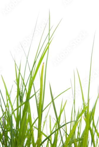 zielona-trawa