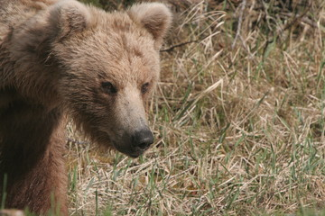 Katmai Small Sow Brown Bear