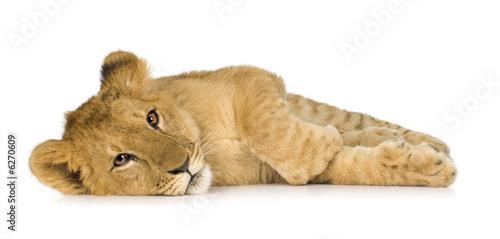 Leinwandbild Motiv Lion Cub (6 months)