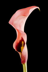 vibrant pink calla lili, isolated on black