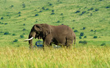 Fototapeta Sawanna - elephant © aloin