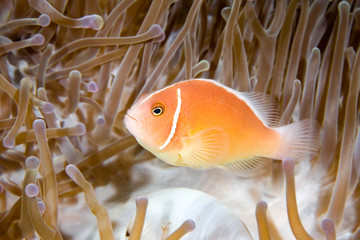 a pink anemonefish living in the tentacles of it's anemone