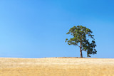 Lone gum tree in a parched Australian field poster