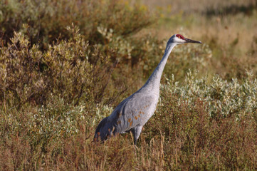 An endangered Sandhill crane alert to it's surroundings
