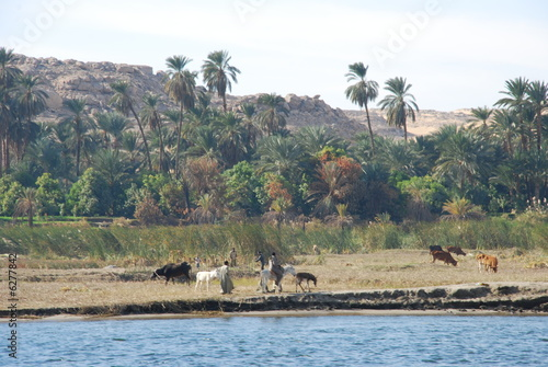 Herding animals at River Nile Coast of Egypt