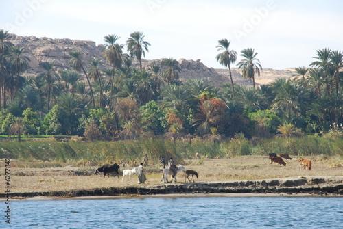 Herding animals at River Nile Coast of Egypt