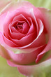 Pink and green rose