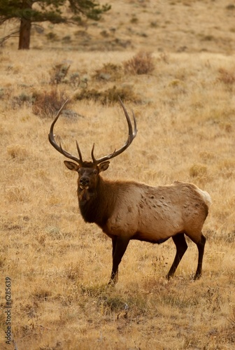 Elk looking back