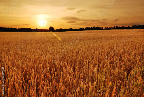 Leinwandbild Motiv Field of wheat at sunset