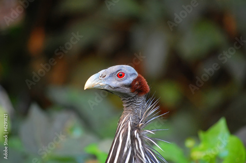 Vulturine Guineafowl on alert.
