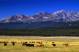 Cattle among Colorado mountains poster
