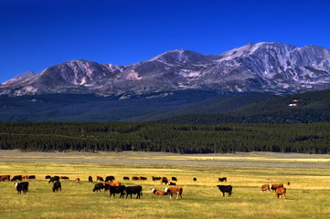 Cattle among Colorado mountains