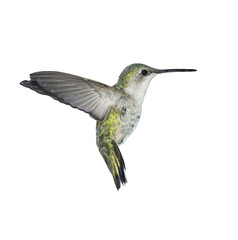 Flying Ruby-throated Hummingbird on white